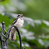 DSC_2751 downy woodpecker_DxO