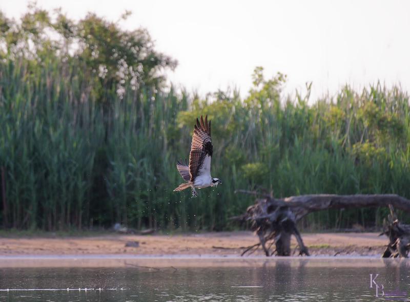DSC_0315 osprey's on the hunt_DxO