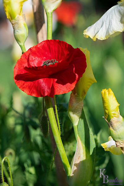 DSC_7424 poppy