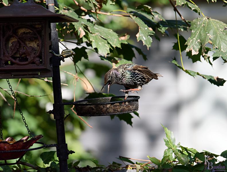 DSC_0463 backyard visitors_DxO