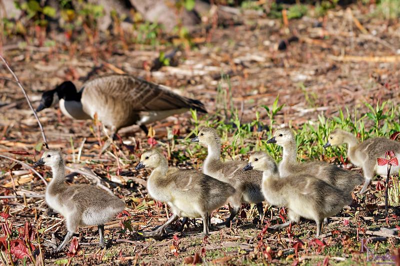 DSC_3689 goslings on parade_DxO