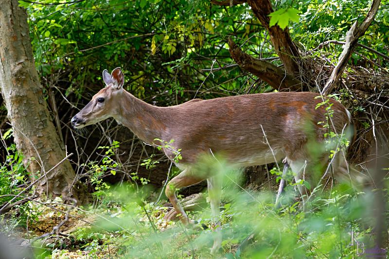 DSC_9112 deer me!_DxO
