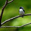 DSC_1726 black faced blue warbler_DxO