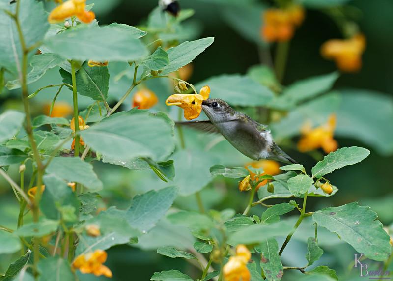 DSC_8509 the hummingbirds of Clove Lakes_DxO