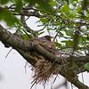 DSC_4998 robin's nest