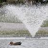 DSC_7225 pretty duck