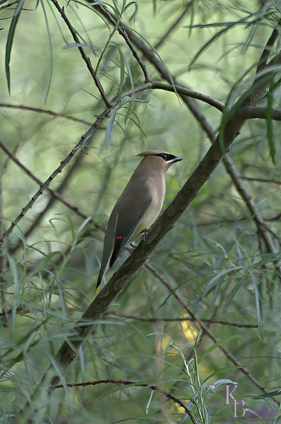 To me I think the Cedar wax wing is the prettiest bird in the northeast. And I was thrilled to finally capture one.