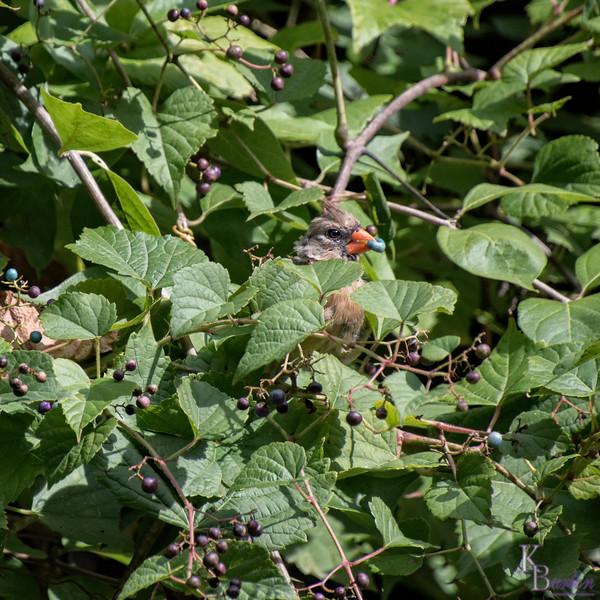 DSC_6526  female cardinal