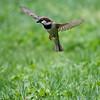 DSC_2855 sparrow_DxO
