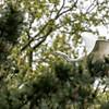 DSC_8077 soaring through the trees
