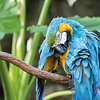 DSC_0097 - blue and gold Macaw