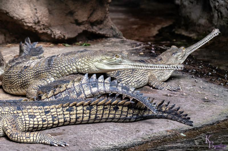 DSC_1778 gharials
