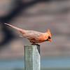 DSC_5404 cardinal