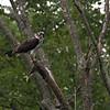 DSC_2759 osprey feeding -TSt