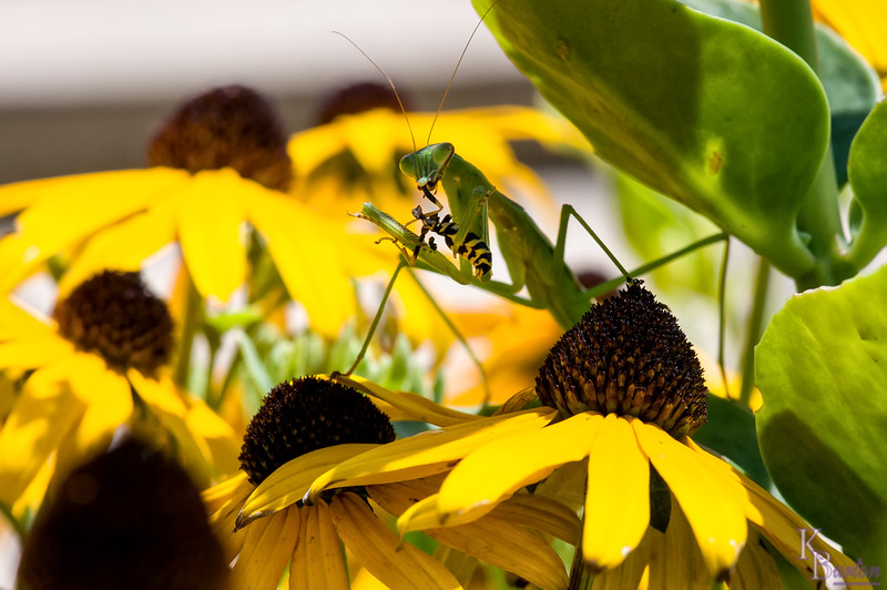 DSC_3005 praying mantis