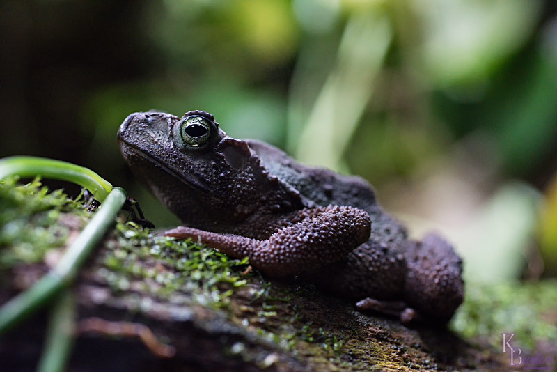 DSC_6602 evergreen toad