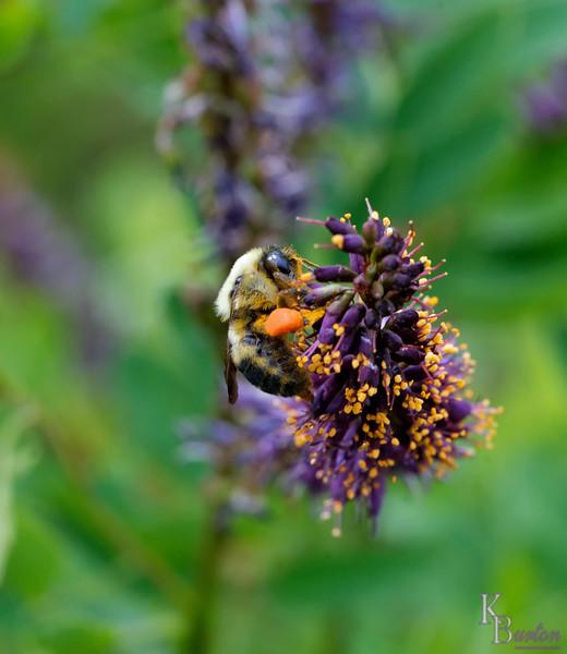 DSC_1495 bumble bee_DxO