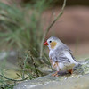 DSC_2252 white zebra finch