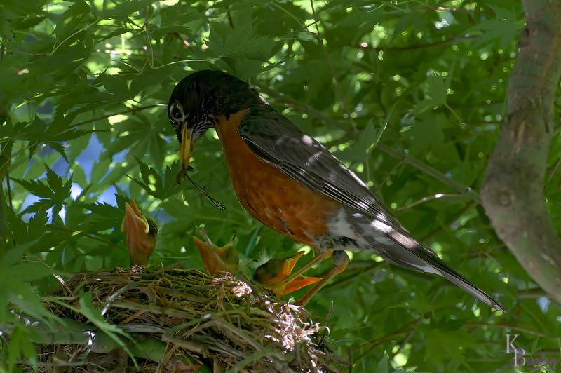 DSC_6340 robin's nest (TF)_DxO
