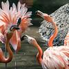 DSC_6943 flamingo's