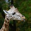 DSC_1084 giraffe_DxO