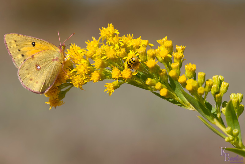 "After successfully capturing shots of those beautiful ""Buckeye"" butterflies, I turned my attention to grabbing some nice shots of these ""Clouded Yellows""."