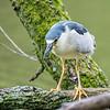 DSC_0036 male night heron