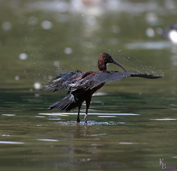 DSC_0789 scarlet ibis -TS