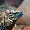 DSC_0724 blue Iguana_DxO