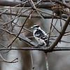DSC_4903 downey woodpecker_DxO
