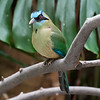DSC_0978 blue crowned motmot