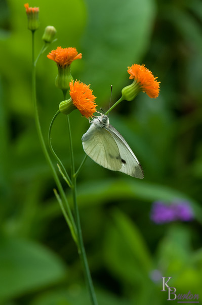 DSC_4137 cabbage white butterfly