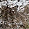 DSC_3796 The deer of Clove Lakes