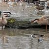 DSC_8586 swan goose