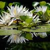 DSC_5399 Snug Harbor lily pond
