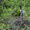After being there for a while and taking several pictures of this heron in its nest, I saw it look up, I guessed it was looking up at its approaching mate, which turns out it was.