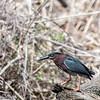 DSC_6627 green heron
