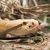 DSC_0391 white rattlesnake