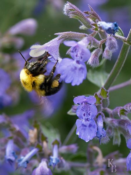 dsc_5150 bumblebee foraging