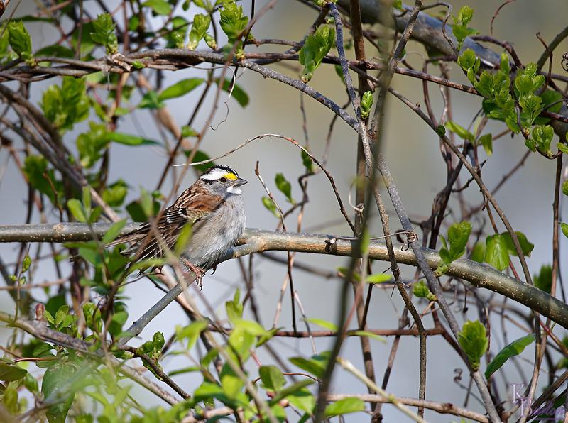 DSC_5259 white throated sparrow_DxO