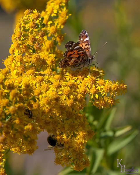 DSC_2513 the butterflies of New Dorp beach