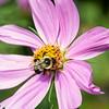 DSC_4192 bumblebee