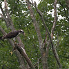 DSC_2735 osprey feeding-TS