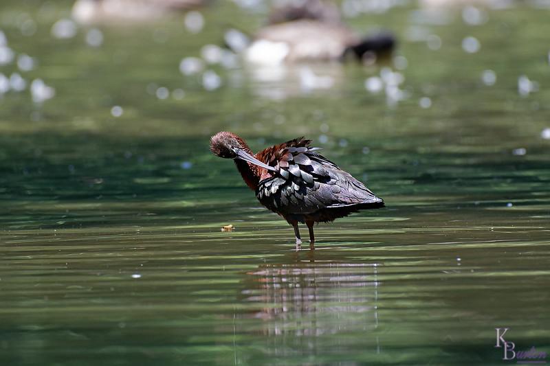 DSC_0733 scarlet ibis_DxO
