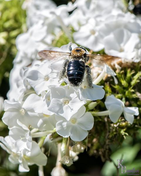 DSC_5807 bumblebee
