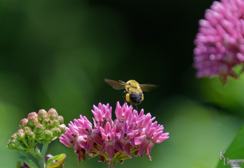 DSC_1705 bumble bee_DxO