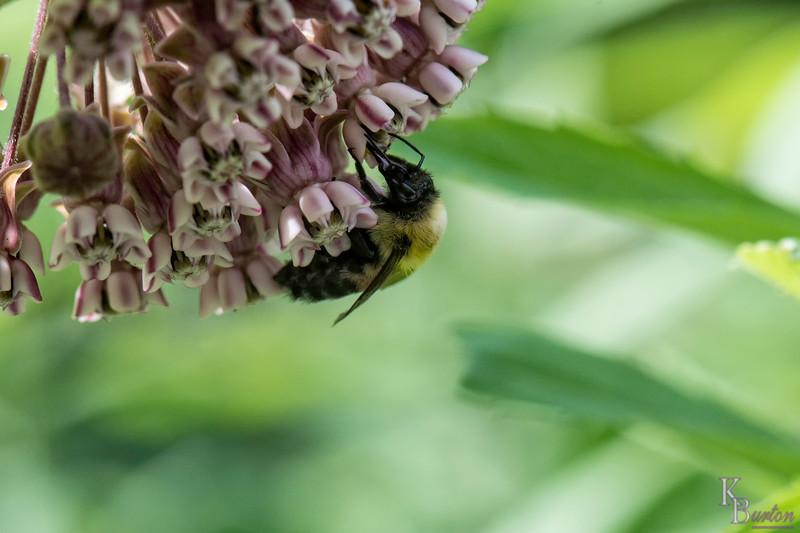 DSC_1061 honey bee