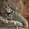 DSC_1760 crevice lizard