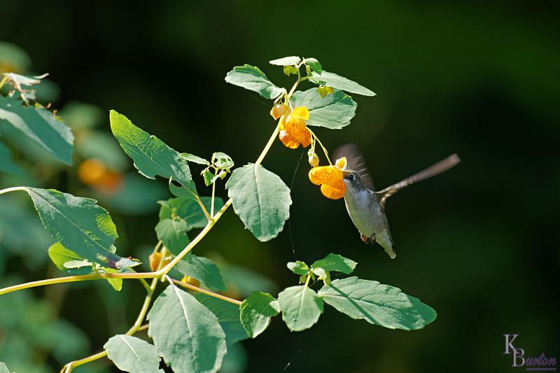 DSC_9078 the hummingbirds of Clove lakes_DxO