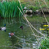DSC_6169 ducks on the pond